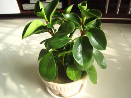 盆栽豆瓣绿