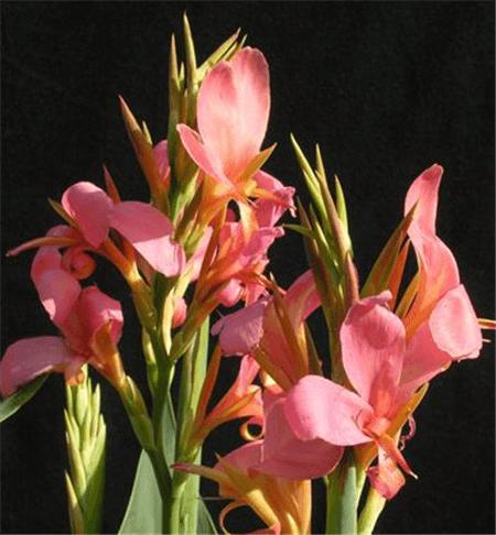 粉美人蕉花朵