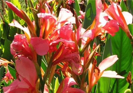 粉美人蕉植株