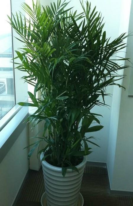 盆栽夏威夷椰子