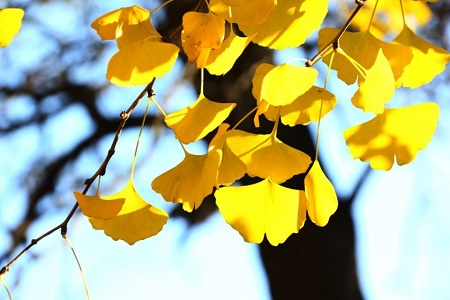 变黄的银杏树叶
