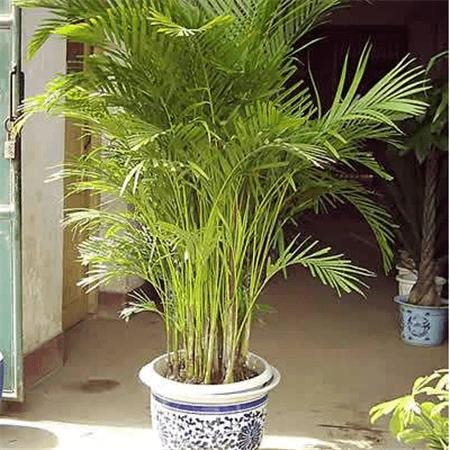 富贵椰子盆栽