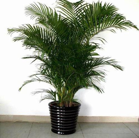 夏威夷椰子植株