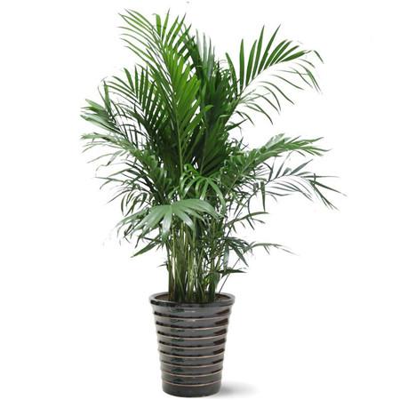 夏威夷椰子盆栽