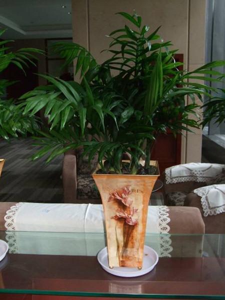 袖珍椰子植株