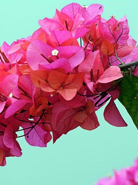 三角梅的花朵