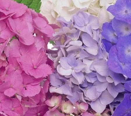 绣球花的花朵