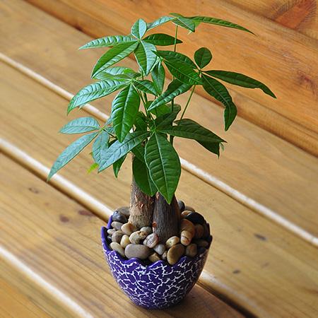 发财树植株