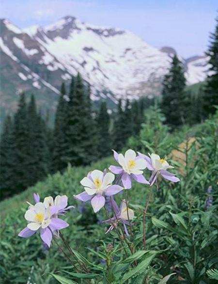 美丽的耧斗花