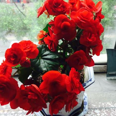 盆栽丽格海棠