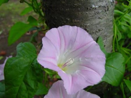白花银背藤开花