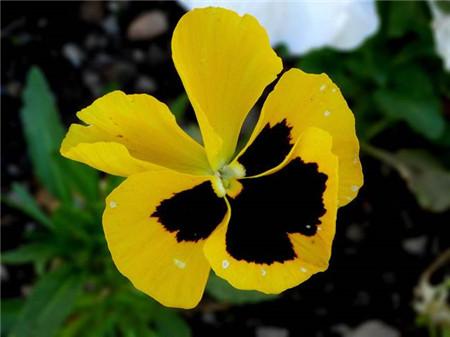 黄色三色堇