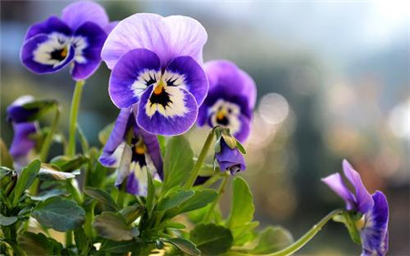 紫色三色堇