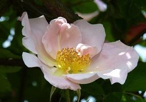 刺蔷薇的花朵