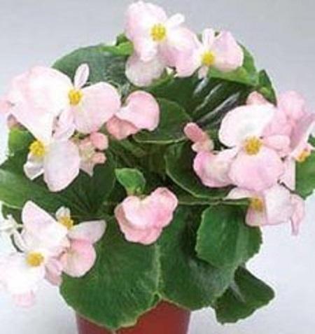 四季海棠盆栽