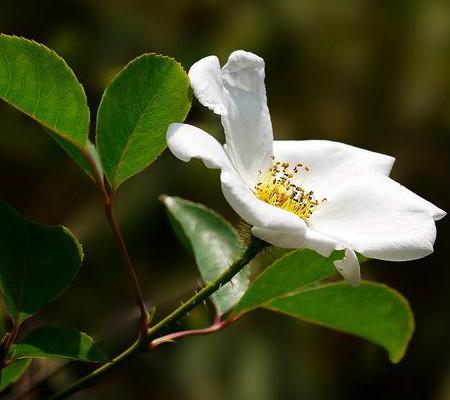 单支硕苞蔷薇