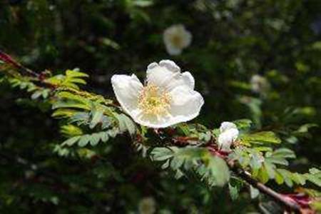 峨眉蔷薇的花朵