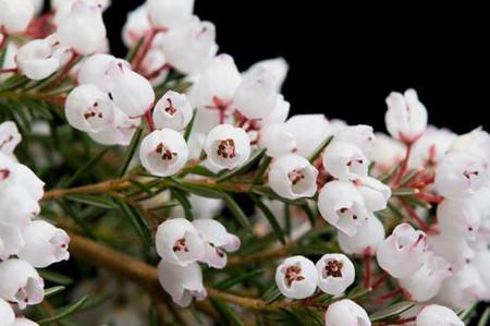 欧石楠开花