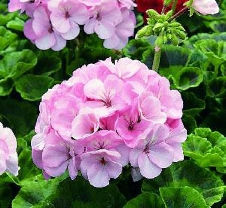 天竺葵的花朵
