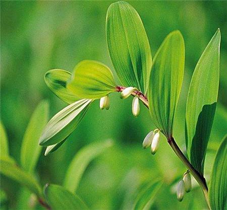 漂亮的玉竹