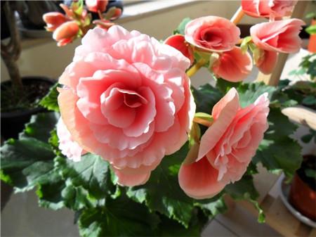 丽格海棠盆栽