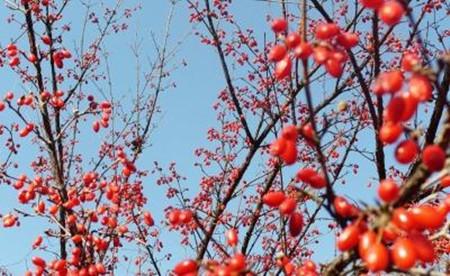 漂亮的山茱萸