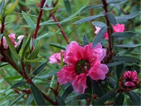 漂亮的松红梅