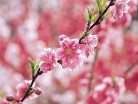漂亮的桃花