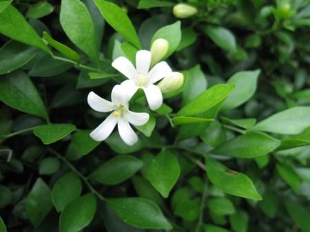 九里香花朵