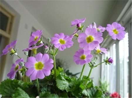 美丽的樱草花