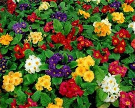 漂亮的樱草花
