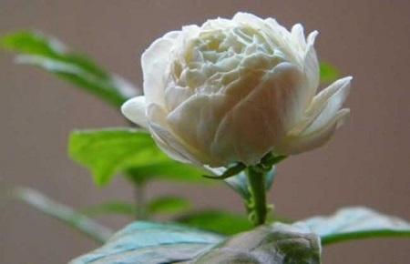 虎头茉莉花朵