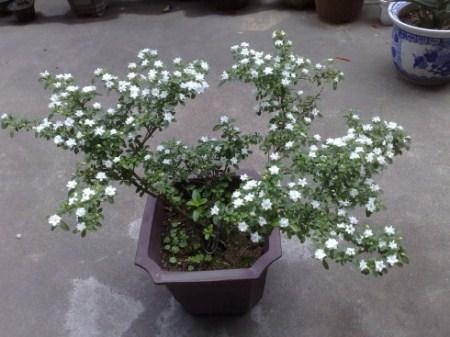 六月雪盆栽