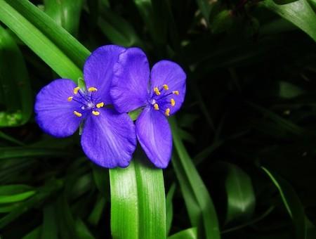 漂亮的紫露草