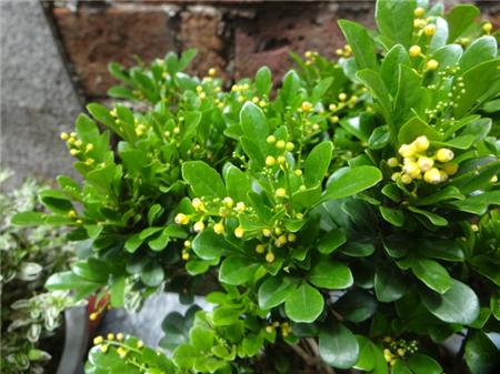 米兰花盆栽