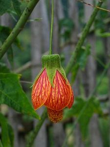 悬铃花花朵