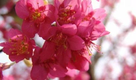 漂亮的中国樱花