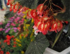 星点秋海棠花朵