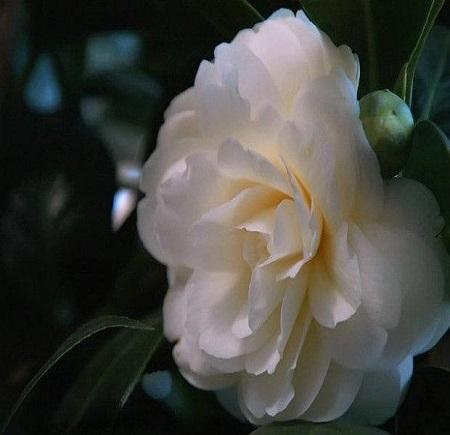 美丽的山茶花