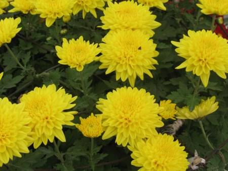 斑斓的菊花