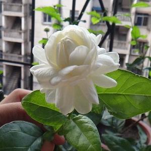虎头茉莉盆栽