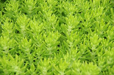 美丽的金叶佛甲草