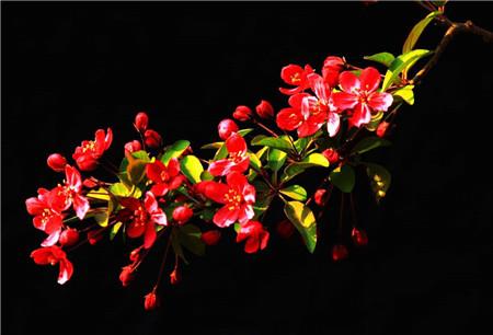 美丽的海棠花
