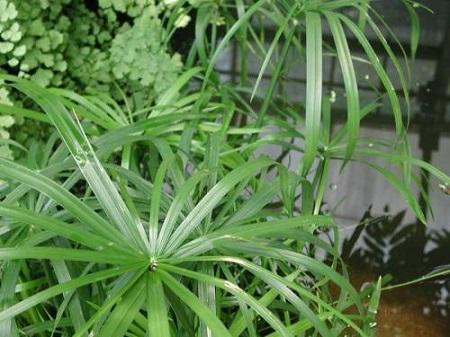 美丽的旱伞草