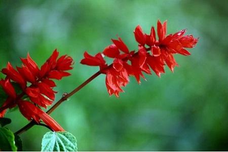 美丽的一串红