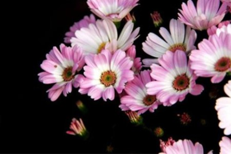 美丽的瓜叶菊