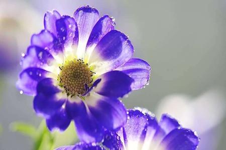 漂亮的瓜叶菊