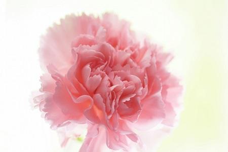 漂亮的康乃馨