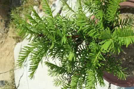 漂亮的曼地亚红豆杉