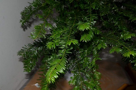 曼地亚红豆杉